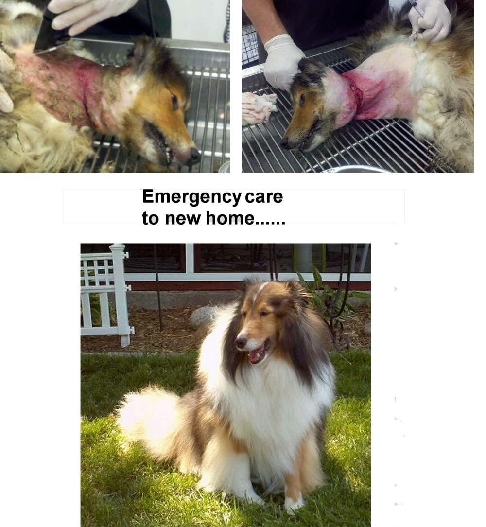 Sheltie with embedded collar, now healed