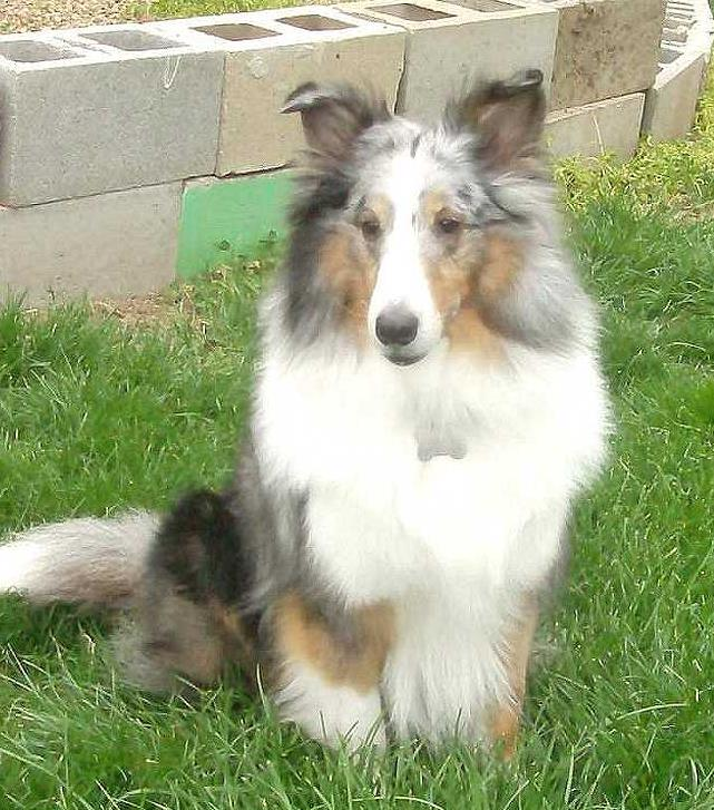 Cisr Sheltie Colors