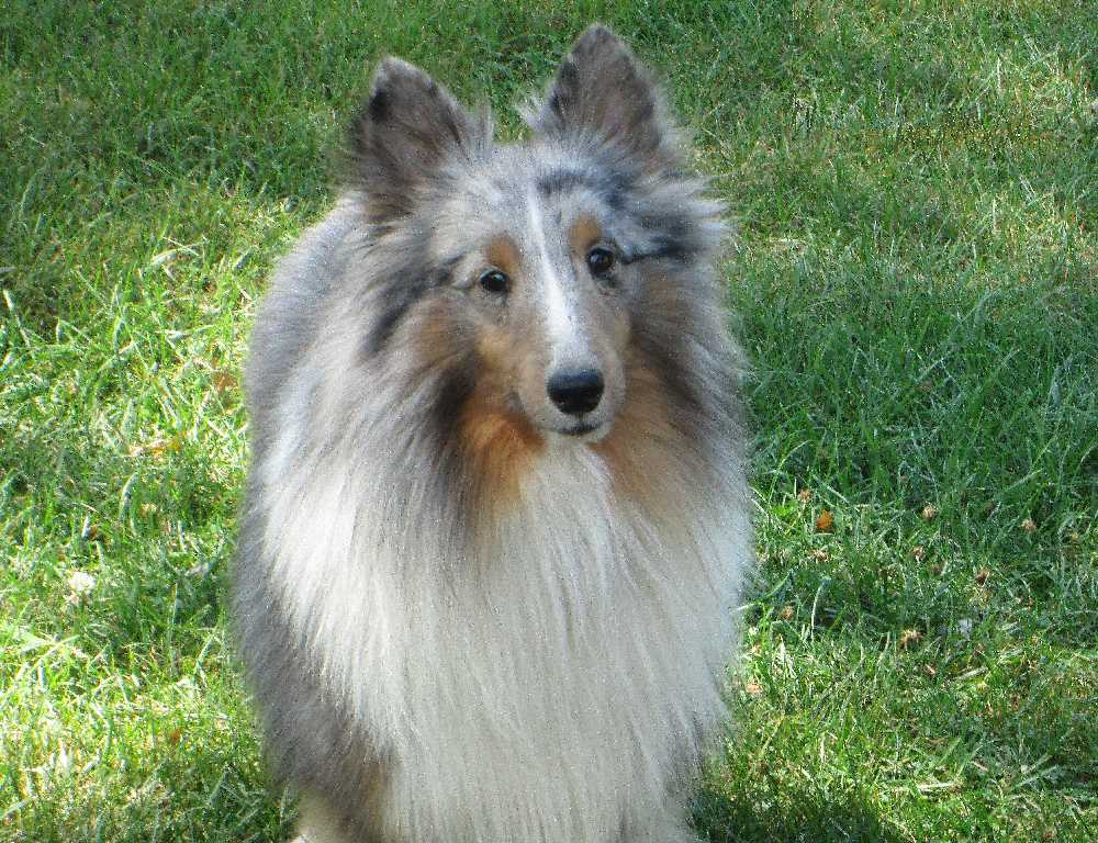 a tri color shelties body is black and will have tan hair on face and legs and sometimes the body they will have white in the same places as a sable