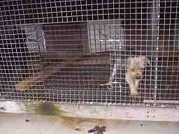 Central Illinois Sheltie Rescue --- Puppy Mills